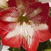 Amaryllidaceae Hippeastrum Stargazeramarylllis Art Print