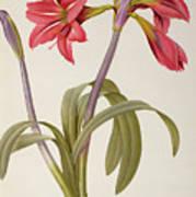 Amaryllis Brasiliensis Art Print by Pierre Redoute
