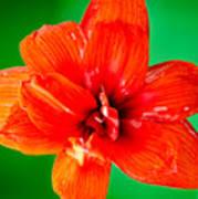 Amaryllis Contrast Orange Amaryllis Flower Appearing To Float Above A Deep Green Background Art Print