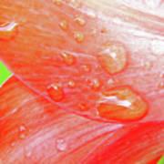 Amaryllis Dew Drops Art Print