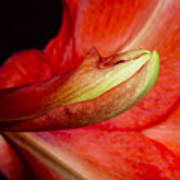 Amaryllis Flower About To Bloom Art Print