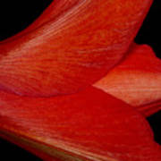 Amaryllis Flower Sideways Art Print