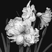 Amaryllis In Black And White Art Print