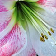 Amaryllis - Lily Art Print