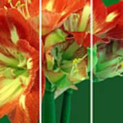 Amaryllis Triptych Art Print