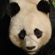 Amazing Face Of A Beautiful Giant Panda Bear Art Print
