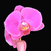 Amazing Pink Orchid With Black Background Orquidea Art Print