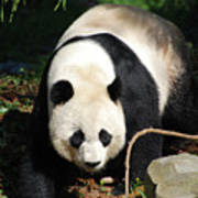 Amazing Sweet Chinese Giant Panda Bear Walking Around Art Print