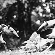 Amazon: Anteater Art Print