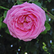 America Climbing Rose Art Print