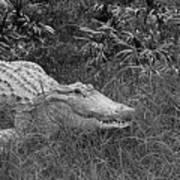 American Alligator 2 Bw Art Print