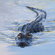 American Alligator Art Print