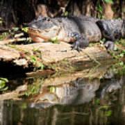 American Alligator With Caterpillar Art Print