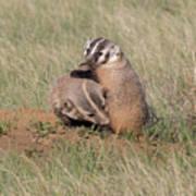 American Badger Cub Climbs On Its Mother Art Print