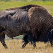 American Bison - Antelope Island - Utah Art Print
