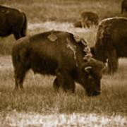 American Bison Grazing - Bw Art Print