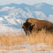 American Bison In Front Of The Rocky Mountains Art Print