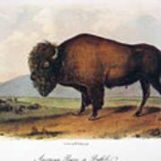 American Buffalo, 1846 Art Print
