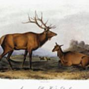 American Elk, 1846 Art Print
