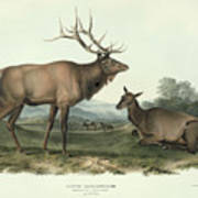 American Elk Art Print
