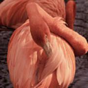 American Flamingo Art Print