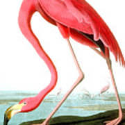 American Flamingo Art Print by John James Audubon