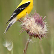 American Goldfinch On Summer Thistle Art Print