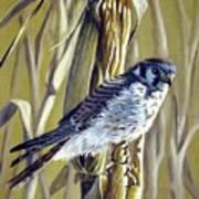 American Kestrel Art Print