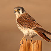 American Kestrel Surveying The Surroundings Art Print