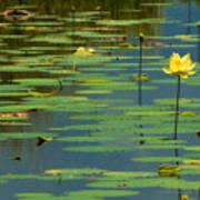 American Lotus Art Print