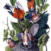 American Robin Audubon Birds Of America 1st Edition 1840 Octavo Plate 142 Art Print