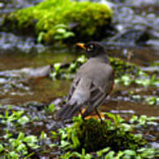American Robin In Garden Springs Creek Art Print