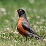 American Robin Art Print by Wingsdomain Art and Photography