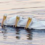 American White Pelicans Art Print