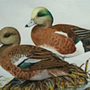 American Widgeons Art Print