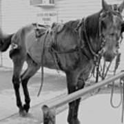 Amish Horse Art Print
