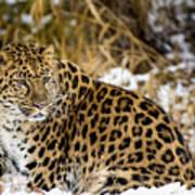 Amur Leopard In A Snowy Forrest Art Print