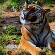 Amur Tiger 6 Art Print