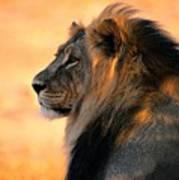An Adult Male African Lion, Panthera Art Print