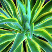 An Agave In Color  Art Print
