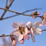 An Almond Tree Blooming Art Print