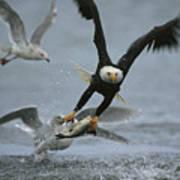 An American Bald Eagle Grabs A Fish Art Print
