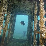An Atlantic Spadefish Swims Amongst Art Print
