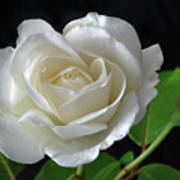 An English Rose Art Print