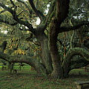 An Old Live Oak Draped With Spanish Art Print by Michael Melford