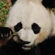 An Up Close Look At A Giant Panda Bear Art Print
