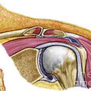 Anatomy Of Left Shoulder, Coronal View Art Print