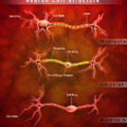 Anatomy Structure Of Neurons Art Print by Stocktrek Images