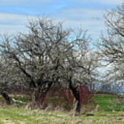 Ancient Apples Budding Out Art Print