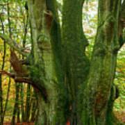 Ancient German Oak Trees In Sababurg Art Print